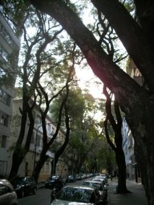 Quintessential Trees of Belgrano R in Buenos Aires, Argentina