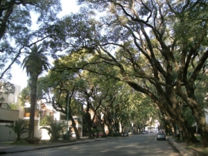 Trees of Calle Melian, Belgrano R, Buenos Aires, Argentina