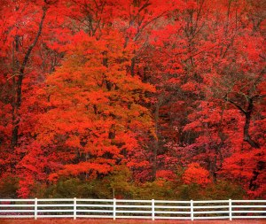 Flaming Red Fall Foliage In Grantwood, Missouri